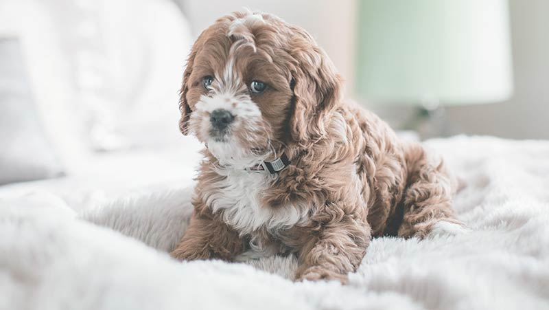 Puppy Stains Carpet Cleaning Tallahassee